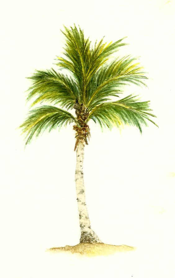 palm tree with coconuts drawing - photo #17