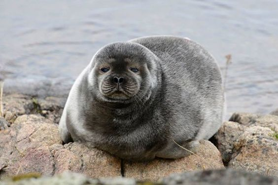 With only 300 left, environmental group, Sea Shepherd has turned its attention to protect one of the world's most endangered seals.  Found only in Lake Saimaa in Finland, the Saimaa ringed seal is one of only a handful of seal subspecies that live in freshwater.| TakePart