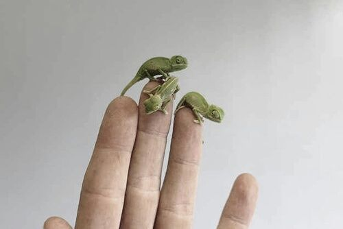 Baby chameleons. I had two this size. Their names were Cross Stitch and Quilter. Lol. I found them to be kind of hard to raise.