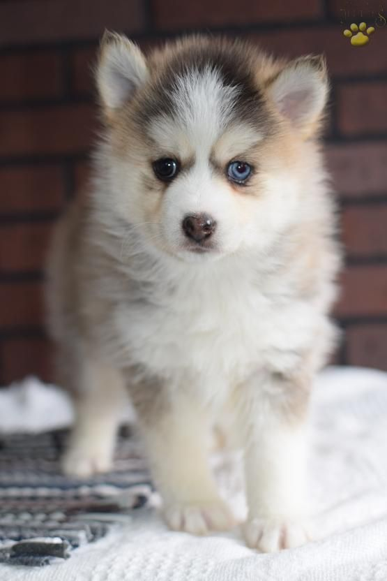 Grace Pomsky Puppy For Sale In Middlebury In Lancaster