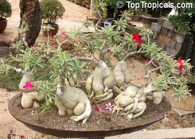 Thailand: Exotic Adeniums, Desert Roses - TopTropicals.com