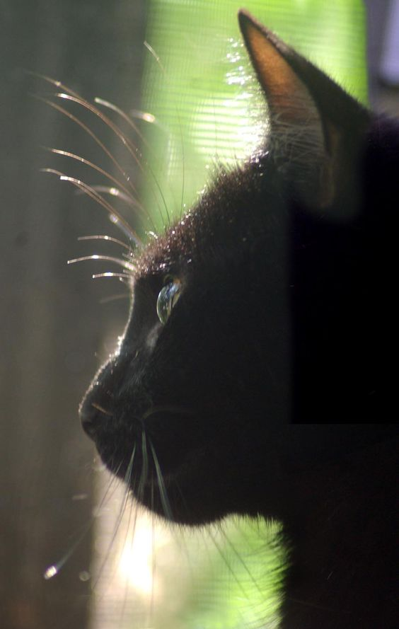 A Delicate Profile, 2011 black cat