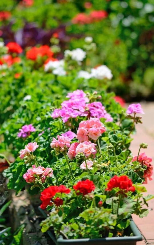 Kwitnace Pelargonie W Doniczce Fot Gabriele Maltinti Fotolia Com Annual Flowers Small Flower Gardens Summer Flowers Garden