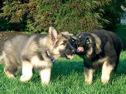 shiloh shepherd photo | Stardust Shiloh Shepherds - Champion Rare Breed Shiloh Shepherds