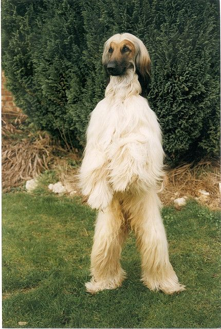 Afghan Hounds stand up like this to see better ~