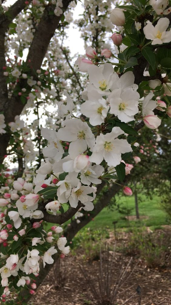 Apple Blossoms Apple Blossom Blossom Plants