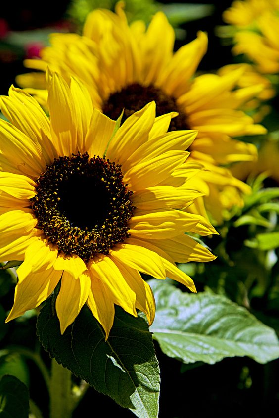 sunflowers are there moonflowers