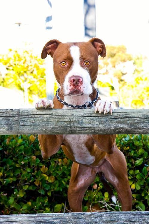 Essay on pit bulls