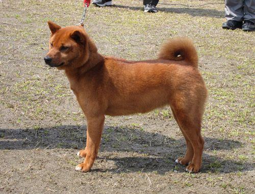 柴犬は全部で5種類 珍しいとされる山陰柴 美濃柴ってどんな犬 柴犬 犬 どんより