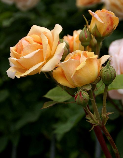 This looks like my rose bush