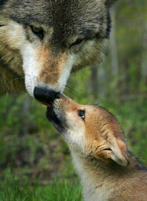 Pup licks wolf's nose