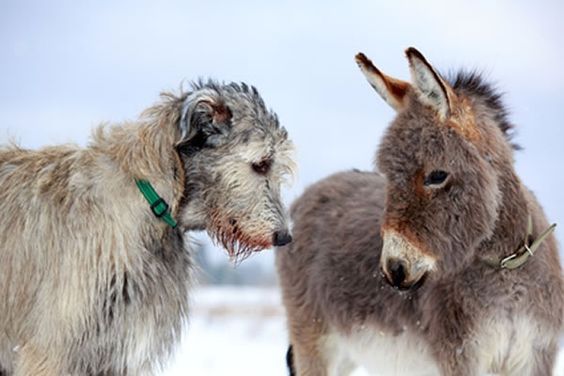 Just the two pets I would love....Fergus the Irish Wolfhound and a donkey named Hamish.