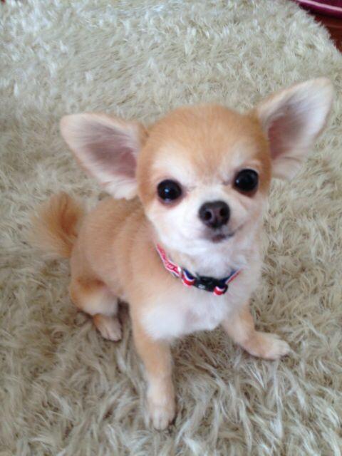 Pin Von Schreinerprofi Auf Chihuahua Zum Verlieben In 2020 Chihuahua Welpen Chihuahua Zubehor Susse Tiere