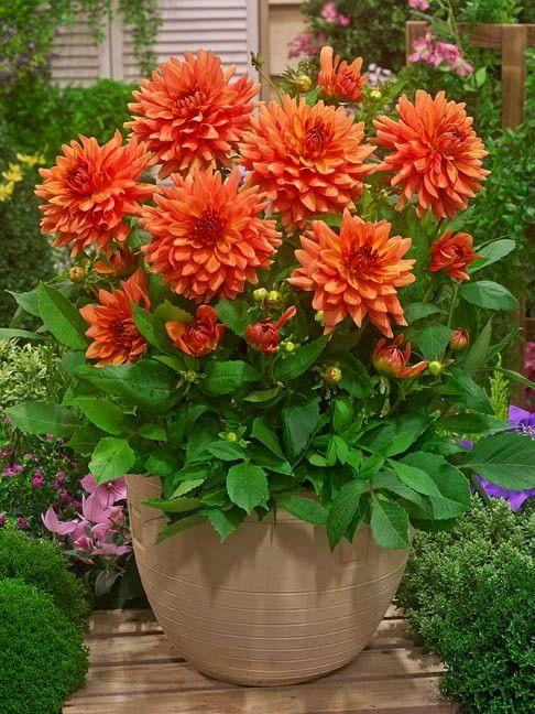 Orange Glory Dwarf Dinnerplate Dahlia 1 Size Root Clump Long Lasting Flower Flower Pots Flowers