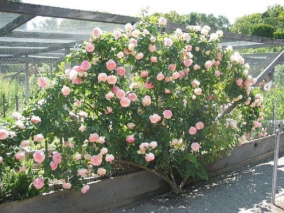 Full size picture of Large Flowered Climbing Rose 'Eden Climber' (Rosa)