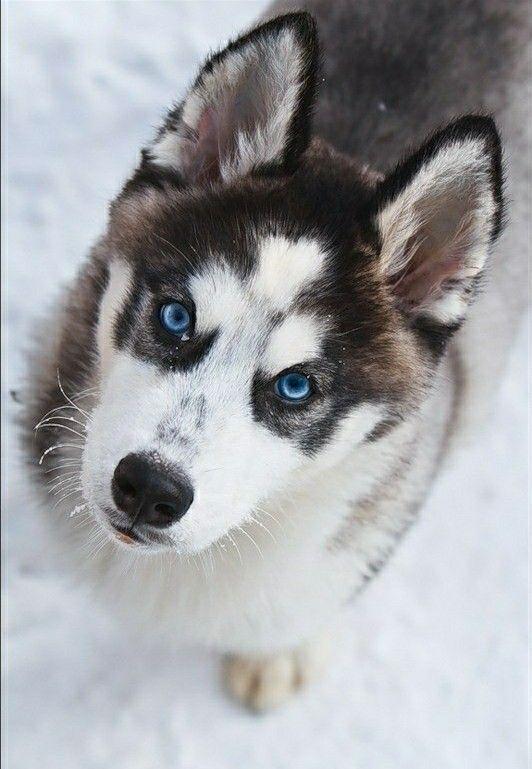 Siberian Husky Puppy Siberianhusky Siberianhuskypuppy Siberian
