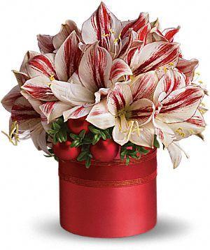 Teleflora's Peppermint Amaryllis Flowers