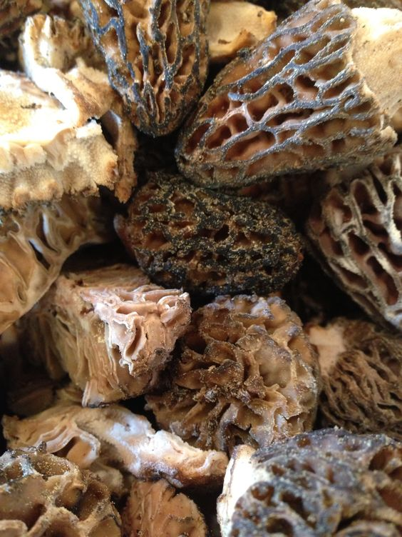 Morel mushroom a fleeting gift of spring called dry for Dry land fish