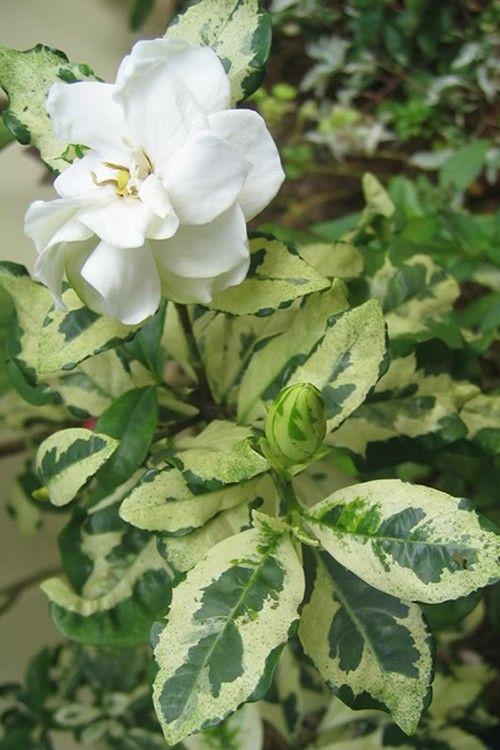 Gardenia Radicans Variegata Variegated Dwarf Gardenia Very
