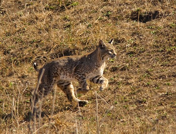 Bobcat trapping boom relies on cruel and grisly tools to serve foreign markets