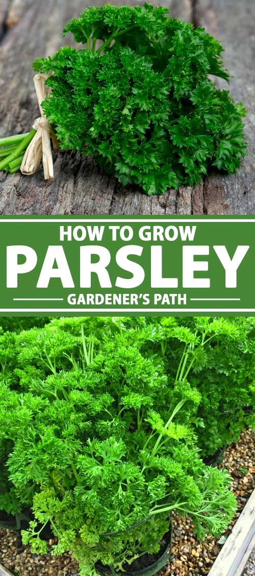 How To Grow Parsley In Your Home Herb Garden Gardener S Path In 2020 Growing Parsley Growing Italian Parsley Growing Herbs In Pots