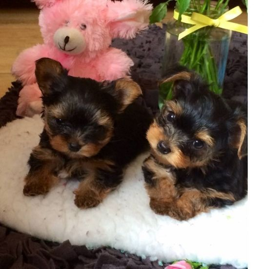 Pk Teacup Yorkie Puppies Available Puppiesldogs Teacup Yorkie Puppy Yorkie Puppy Yorkie Terrier