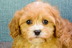 Teddy Bear Puppies For Sale In Ohio, Teddy Bear for Sale, Shichon Puppies, Maltese Shih Tzu Mix