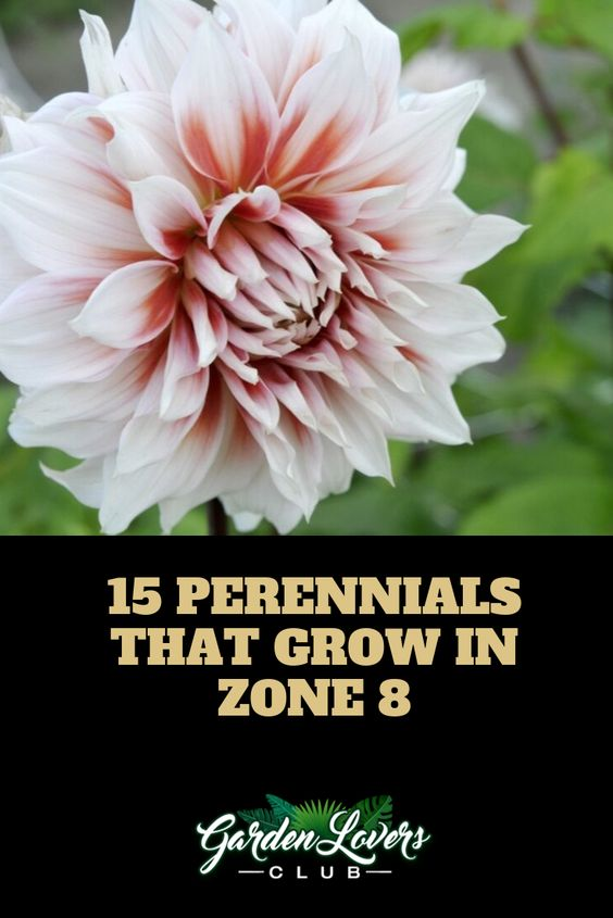 15 Perennials That Grow In Zone 8 With Images Perennials