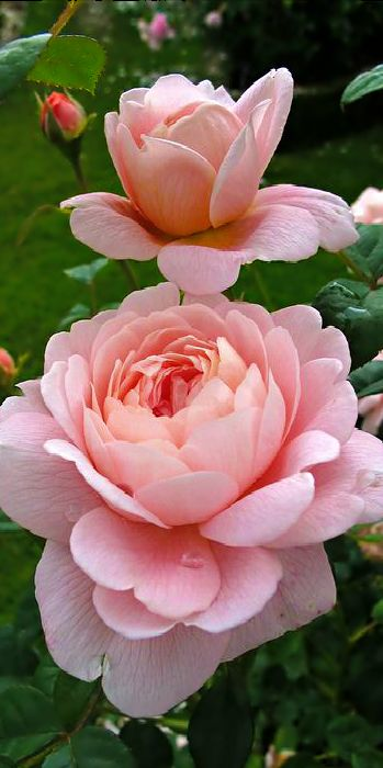 Queen of Sweden Roses - beautiful! My Mom would love these...pink is her favorite color in flowers! SJK: