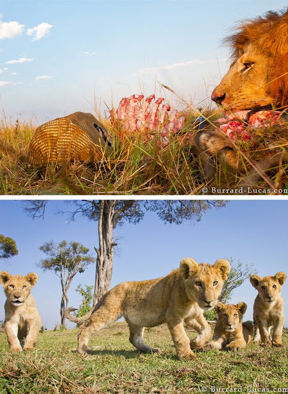 leoes selvagens como vc nunca viu