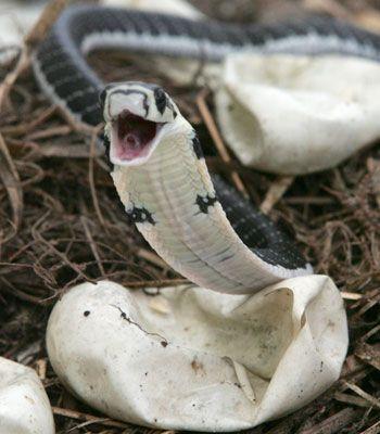 King Cobra hatchling  ...