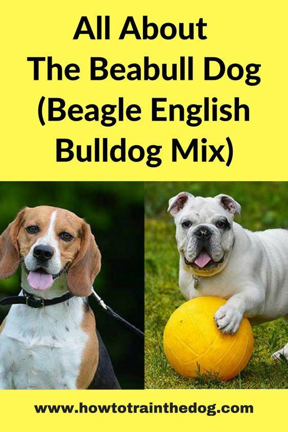 All About The Beabull Dog Beagle English Bulldog Mix Bulldog