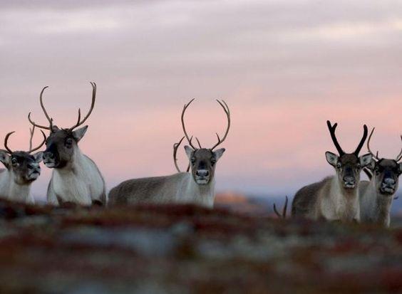 Reindeer at Hardangervidda, Norway - P_19.11.2012 - http://laagendalsposten.no/polopoly_fs/villrein-1.6360154!/image/2325633280.jpg_gen/derivatives/derivative_article_980/2325633280.jpg