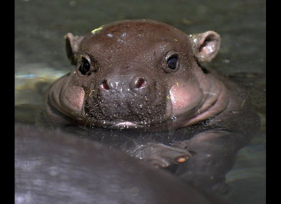 a baby pygmy hippo. I mean who wouldn't want one of these? Look at those squeezable cheeks!! :-)