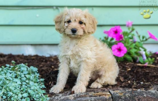 Roxy Cockapoo Puppy For Sale In Mifflinburg Pa Lancaster Puppies Puppies For Sale Cockapoo Puppies For Sale Cockapoo Puppies