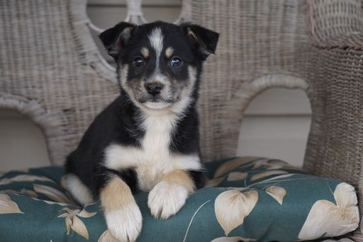 Miniature Australian Shepherd Pomsky Mix Puppy For Sale In Fredericksbg Oh Usa Adn 108509 Miniature Australian Shepherd Australian Shepherd Sheep Dog Puppy