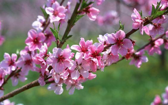 galho_de_flores de pessegueiro-4976.jpg: Google Search, Flower Photo, Beautiful Flowers, Cherry Blossoms