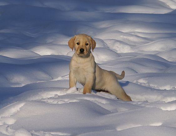 Snow Pup @ bwcalabs.com