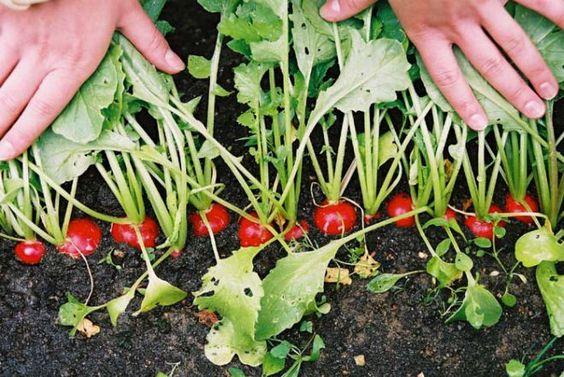 выращивание редиса - 6 соток | Подворье | Постила
