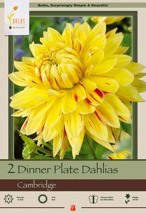 Dinner Plate Dahlia Dahlia Decorative Cambridge from Netherland Bulb Company - Upright stems support a Dutch summer favorite that blooms all summer long. Easy to grow. Plant in moist fertile soil in full sun. Pinch excess buds and deadhead for more and larger blooms, water well during growing season, especially when grown in containers.