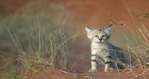 Sand cat Felis margarita