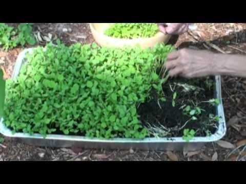 How do you grow a fenugreek plant?