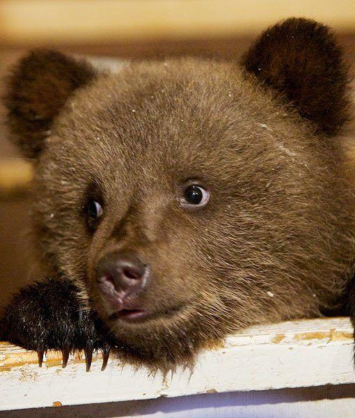Pin By Steven Shubosky On állatok Animals Bear Bear Cubs Big Teddy Bear