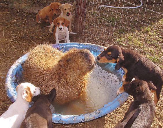 Animals Love Capybaras. Why Do Animals Like Capybaras So Much?