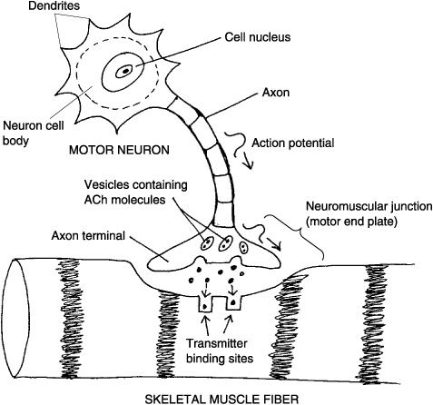 Action Potential Nerve Impulse The Neuromuscular Nerve Muscle Connection The Neuromuscular Junction Radiology Schools Physiology Anatomy Class