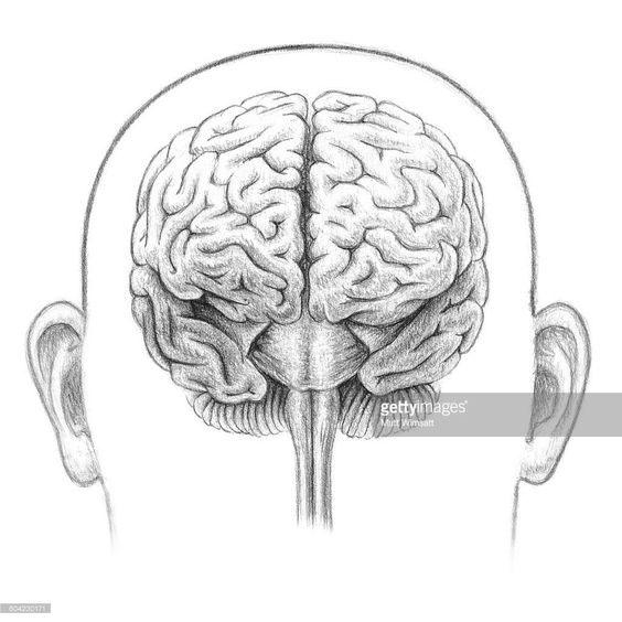 frontal view of the brain showing the cerebral cortex