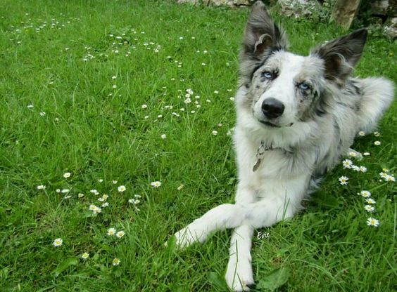 @everyone loves Evie. The blue merle bordercollie collie in The Lake District