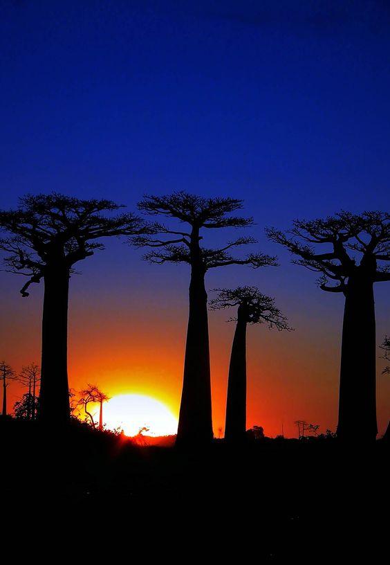 Puesta de sol de los árboles baobab en Madagascar |:
