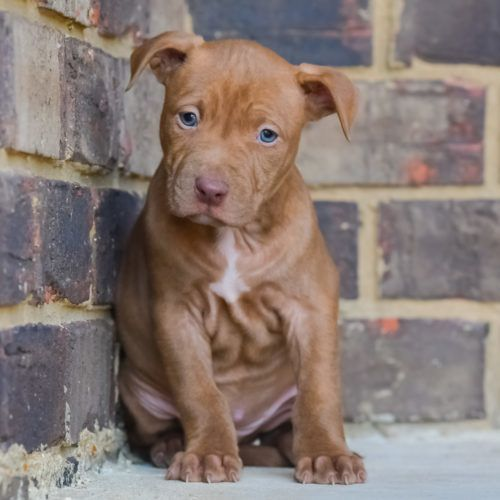 Red Nose Pitbull Puppies For Sale Baby Pitbulls For Sale Pitbull Puppies Pitbull Puppies For Sale Red Nose Pitbull Puppies
