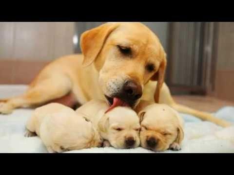Labrador Retriever Intelligent And Fun Loving Roztomili Pejsci